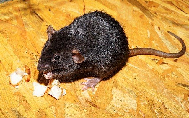 patkányirtás módszerei vándor patkány