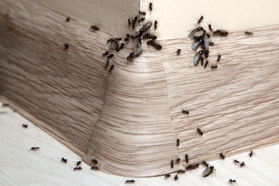 hangya a lakásban a fal mellett